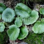 piantine di umbilicus rupestris