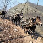 Trevi, muli con some di legna negli impervi sentieri, 2002